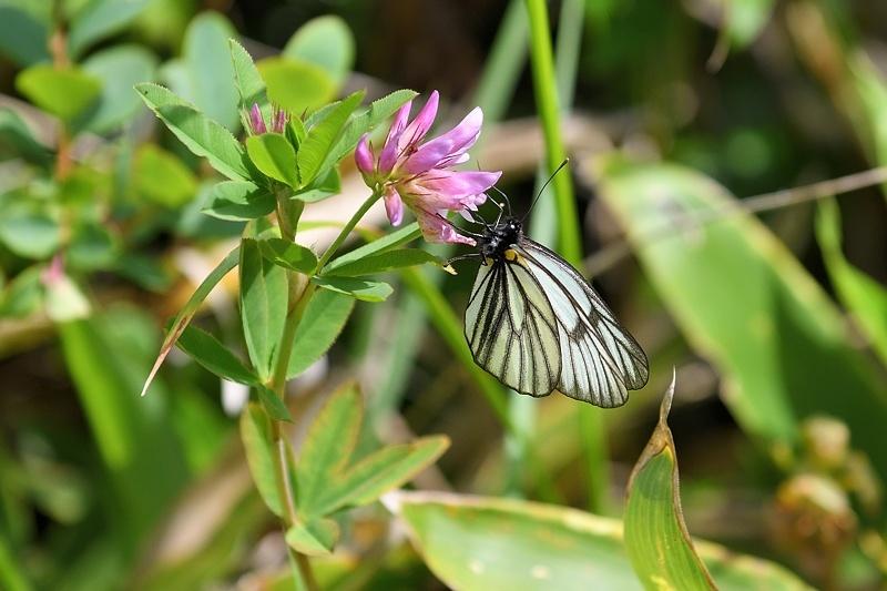 高山の蝶たち-1(ミヤマシロチョウ:2019/7/26)_f0031682_13431642.jpg