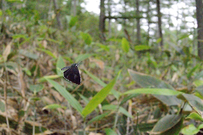 高山の蝶たち-1(ミヤマシロチョウ:2019/7/26)_f0031682_13431698.jpg