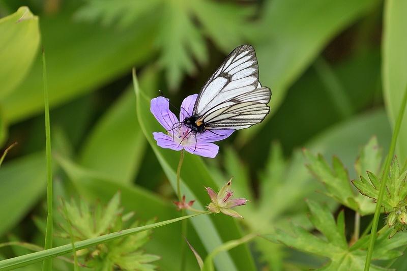 高山の蝶たち-1(ミヤマシロチョウ:2019/7/26)_f0031682_13431762.jpg