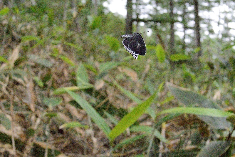 高山の蝶たち-1(ミヤマシロチョウ:2019/7/26)_f0031682_13431767.jpg