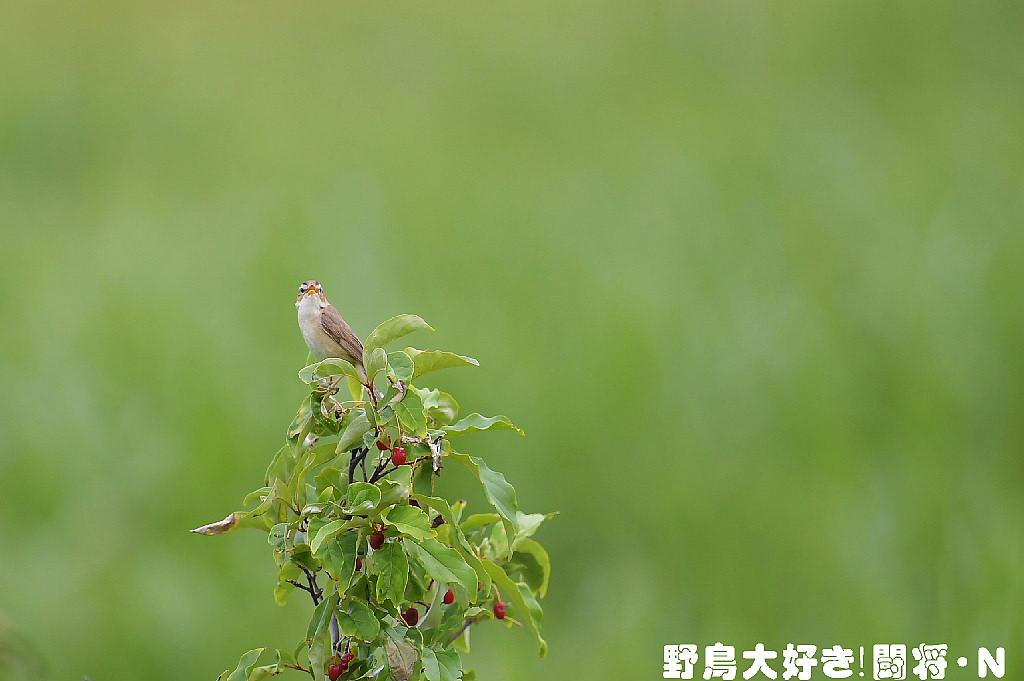 コヨシキリ_f0059882_5351380.jpg