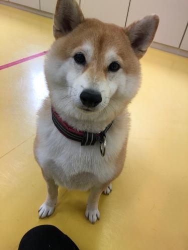 柴犬のススメ!(可愛い編)_f0357682_14103236.jpg