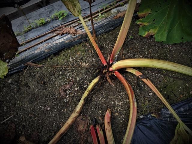 高槻で栽培中の「赤いルバーブ」が大変・・!!。_f0229190_21043203.jpg