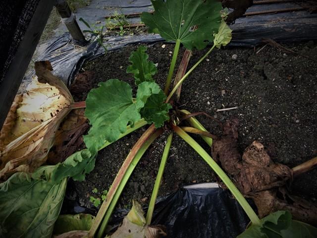 高槻で栽培中の「赤いルバーブ」が大変・・!!。_f0229190_21074360.jpg