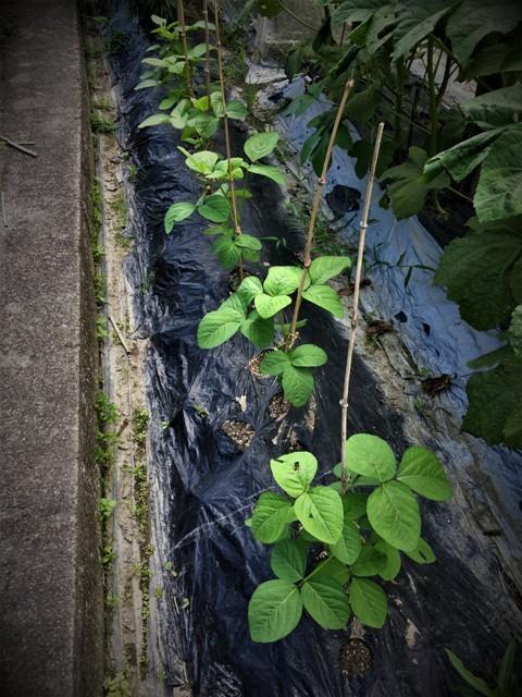 高槻で栽培中の「赤いルバーブ」が大変・・!!。_f0229190_21161350.jpg