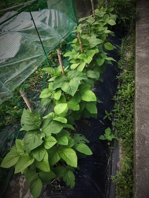 高槻で栽培中の「赤いルバーブ」が大変・・!!。_f0229190_21171394.jpg