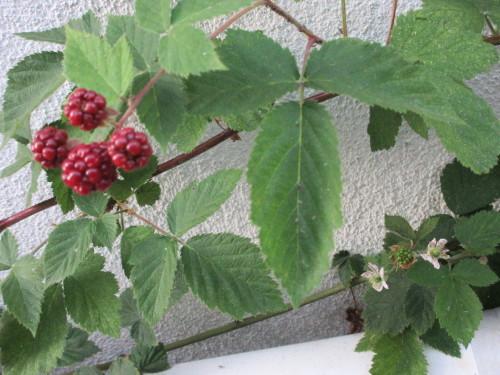 Berry,  Berry,  Berry. . . .。_e0341401_05383534.jpg