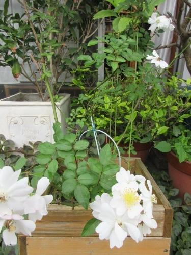 薔薇Yoshiko、明日葉の樹液、リッタースポーツ。_e0341401_06232750.jpg