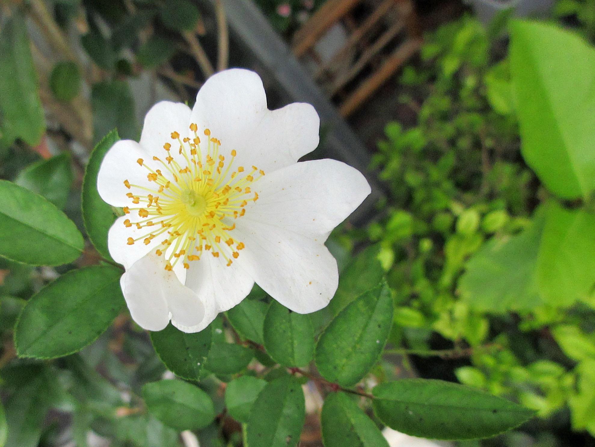 薔薇Yoshiko、明日葉の樹液、リッタースポーツ。_e0341401_06233235.jpg