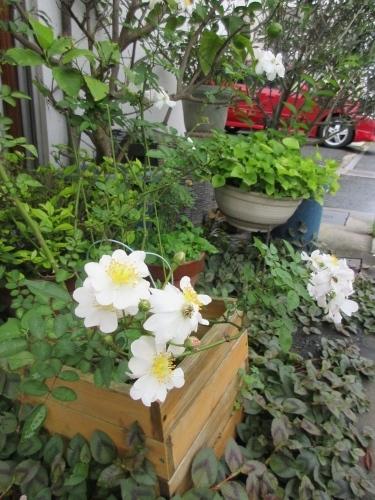 薔薇Yoshiko、明日葉の樹液、リッタースポーツ。_e0341401_06235306.jpg