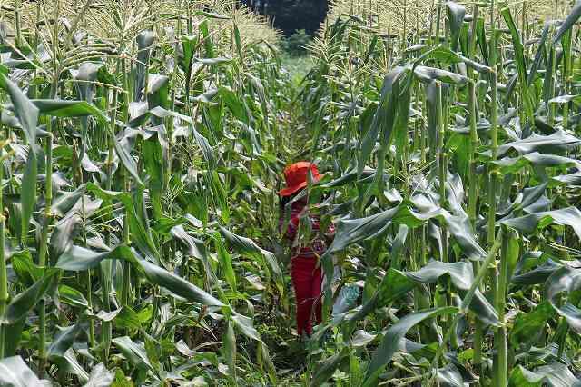 7月28日 ひるぜん農園 無料トウモロコシ狩り_f0340155_15264183.jpg