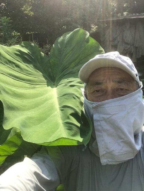 サトイモ順調、私の背丈を超えた7・31_c0014967_17263706.jpg