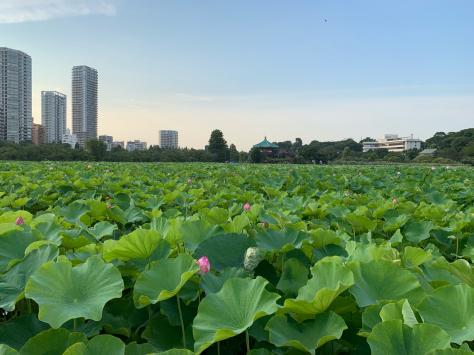 上野公園の不忍池の蓮が綺麗でした。_a0112393_10233557.jpg