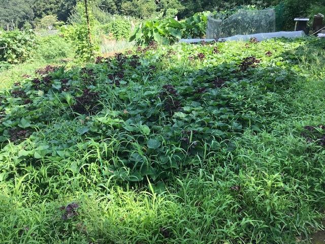 マクワウリ・カボチャ収穫、芋つる返し、葱土寄せ7・29~31_c0014967_11574400.jpg