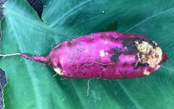 マクワウリ・カボチャ収穫、芋つる返し、葱土寄せ7・29~31_c0014967_12005794.jpg