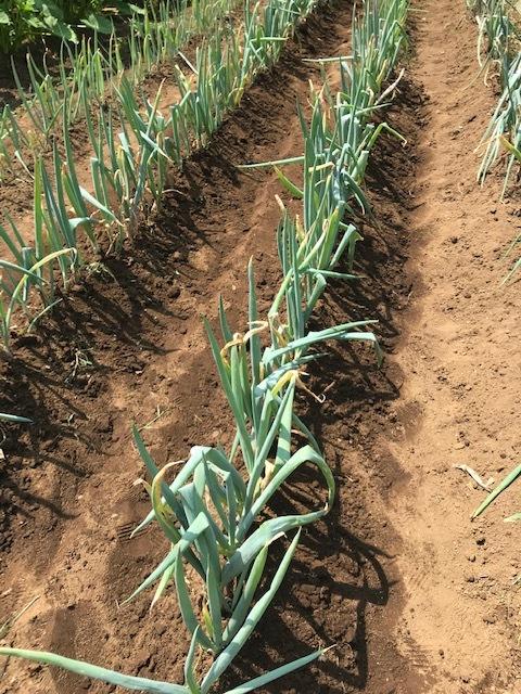 マクワウリ・カボチャ収穫、芋つる返し、葱土寄せ7・29~31_c0014967_12025882.jpg