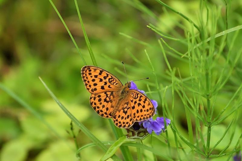 高山の蝶たち-2(ミヤマモンキチョウとタテハ達:2019/7/26)_f0031682_17173590.jpg