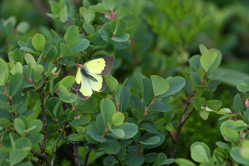 高山の蝶たち-2(ミヤマモンキチョウとタテハ達:2019/7/26)_f0031682_17173606.jpg