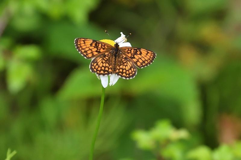 高山の蝶たち-2(ミヤマモンキチョウとタテハ達:2019/7/26)_f0031682_17173684.jpg