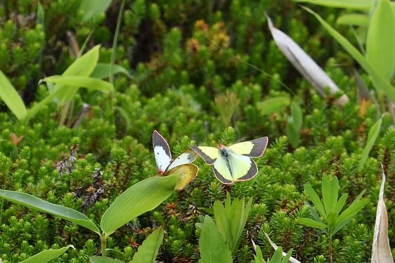 高山の蝶たち-2(ミヤマモンキチョウとタテハ達:2019/7/26)_f0031682_17174420.jpg