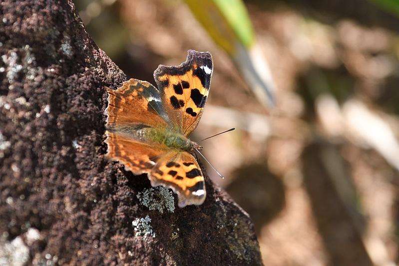 高山の蝶たち-2(ミヤマモンキチョウとタテハ達:2019/7/26)_f0031682_17174919.jpg