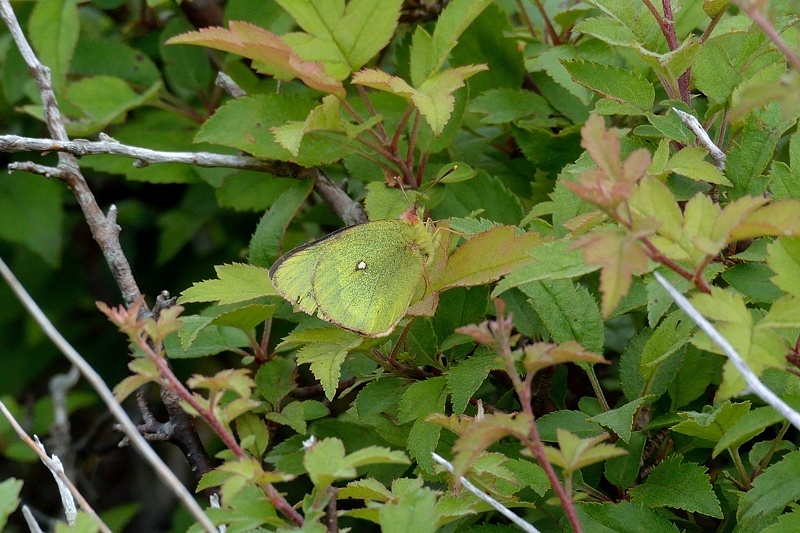 高山の蝶たち-2(ミヤマモンキチョウとタテハ達:2019/7/26)_f0031682_17174939.jpg