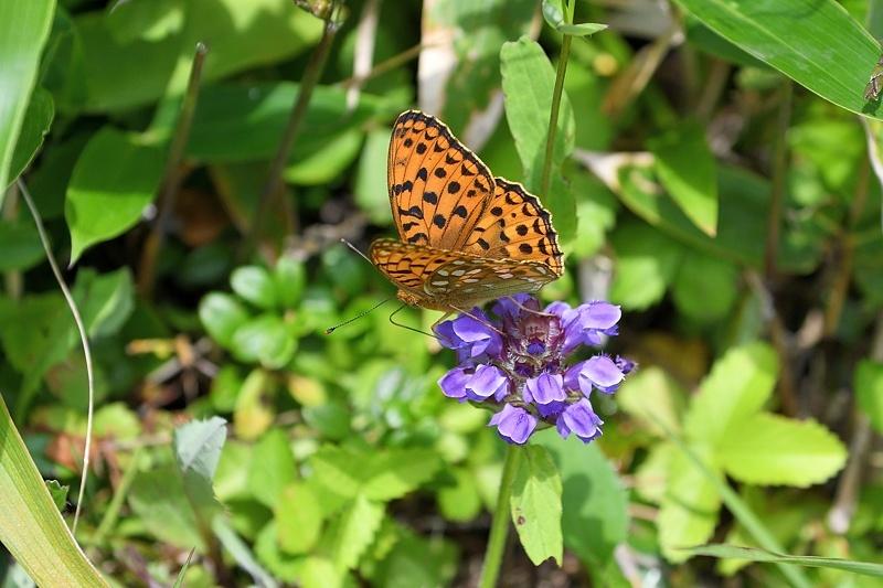 高山の蝶たち-2(ミヤマモンキチョウとタテハ達:2019/7/26)_f0031682_17174964.jpg