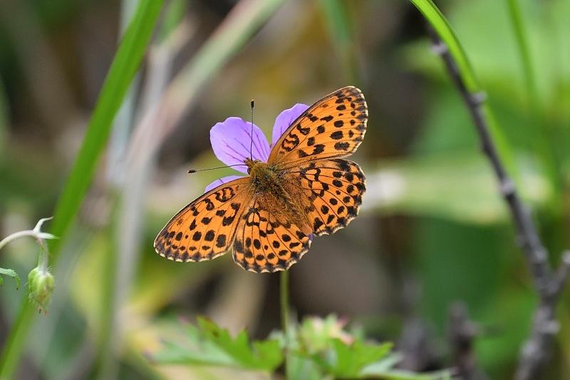 高山の蝶たち-2(ミヤマモンキチョウとタテハ達:2019/7/26)_f0031682_17175082.jpg