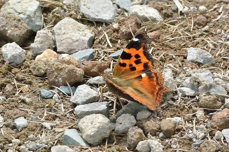 高山の蝶たち-2(ミヤマモンキチョウとタテハ達:2019/7/26)_f0031682_17175596.jpg
