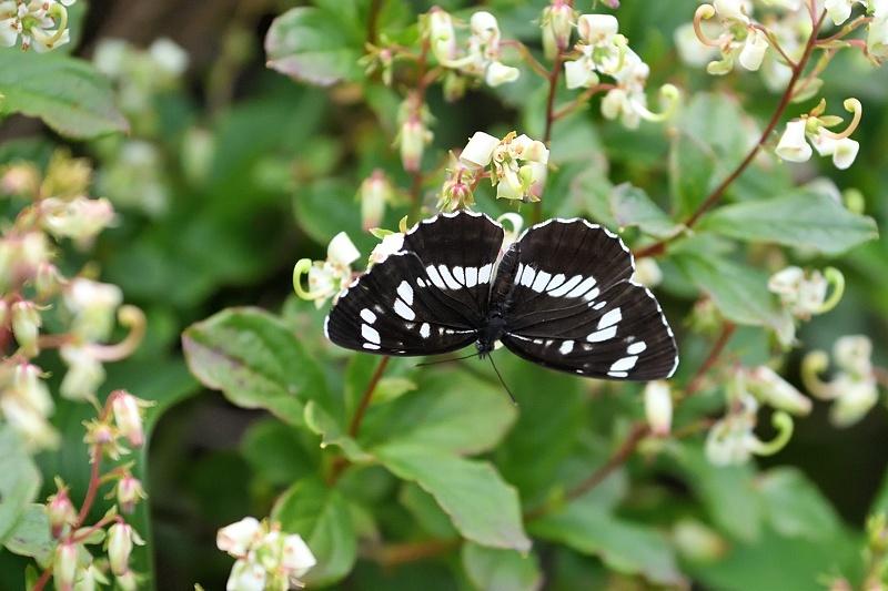 高山の蝶たち-2(ミヤマモンキチョウとタテハ達:2019/7/26)_f0031682_17175679.jpg