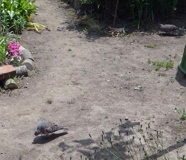 モミジの木に作った巣にキジバトの雛が~♪_a0136293_14432225.jpg