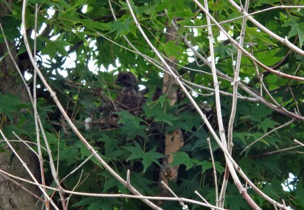 モミジの木に作った巣にキジバトの雛が~♪_a0136293_14544214.jpg