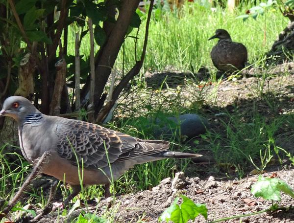 モミジの木に作った巣にキジバトの雛が~♪_a0136293_15130060.jpg