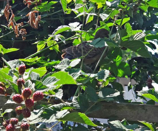 モミジの木に作った巣にキジバトの雛が~♪_a0136293_15145222.jpg