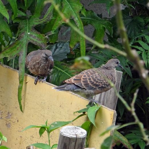 モミジの木に作った巣にキジバトの雛が~♪_a0136293_15231254.jpg