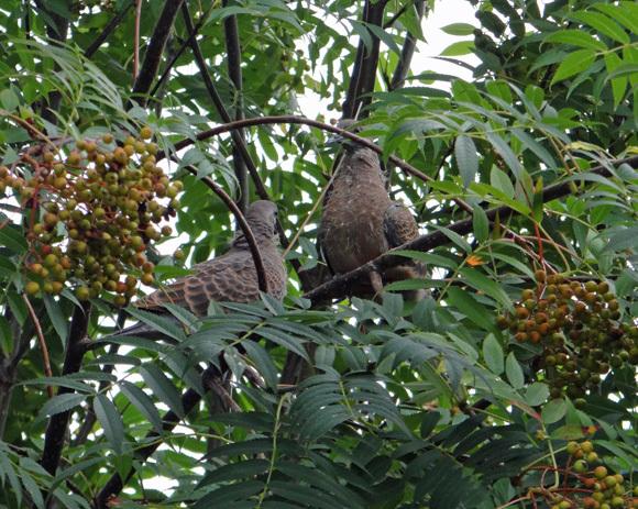 モミジの木に作った巣にキジバトの雛が~♪_a0136293_15264529.jpg