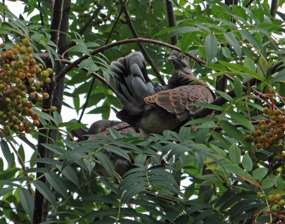 モミジの木に作った巣にキジバトの雛が~♪_a0136293_15265755.jpg