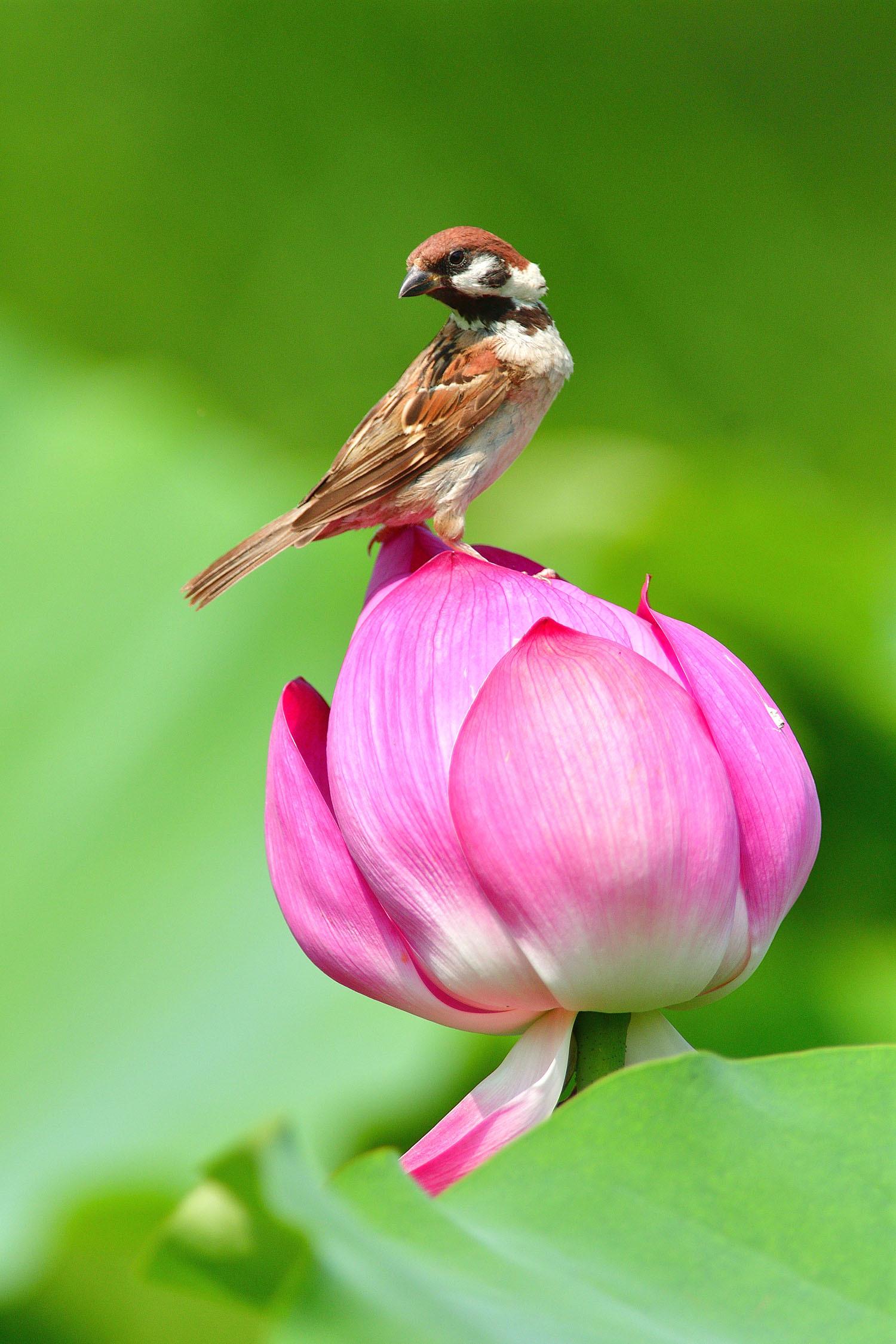 雀と蓮の花_e0362696_15110854.jpg