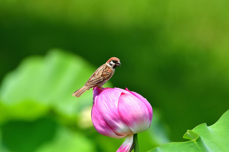 雀と蓮の花_e0362696_15111648.jpg