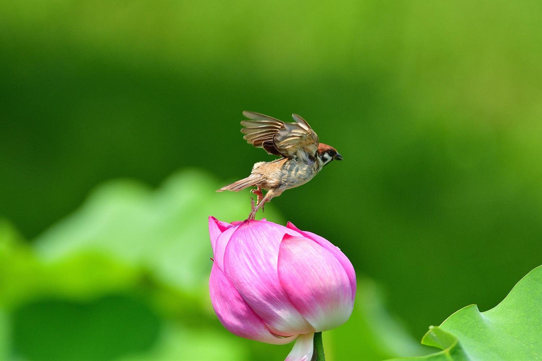 雀と蓮の花_e0362696_15112082.jpg