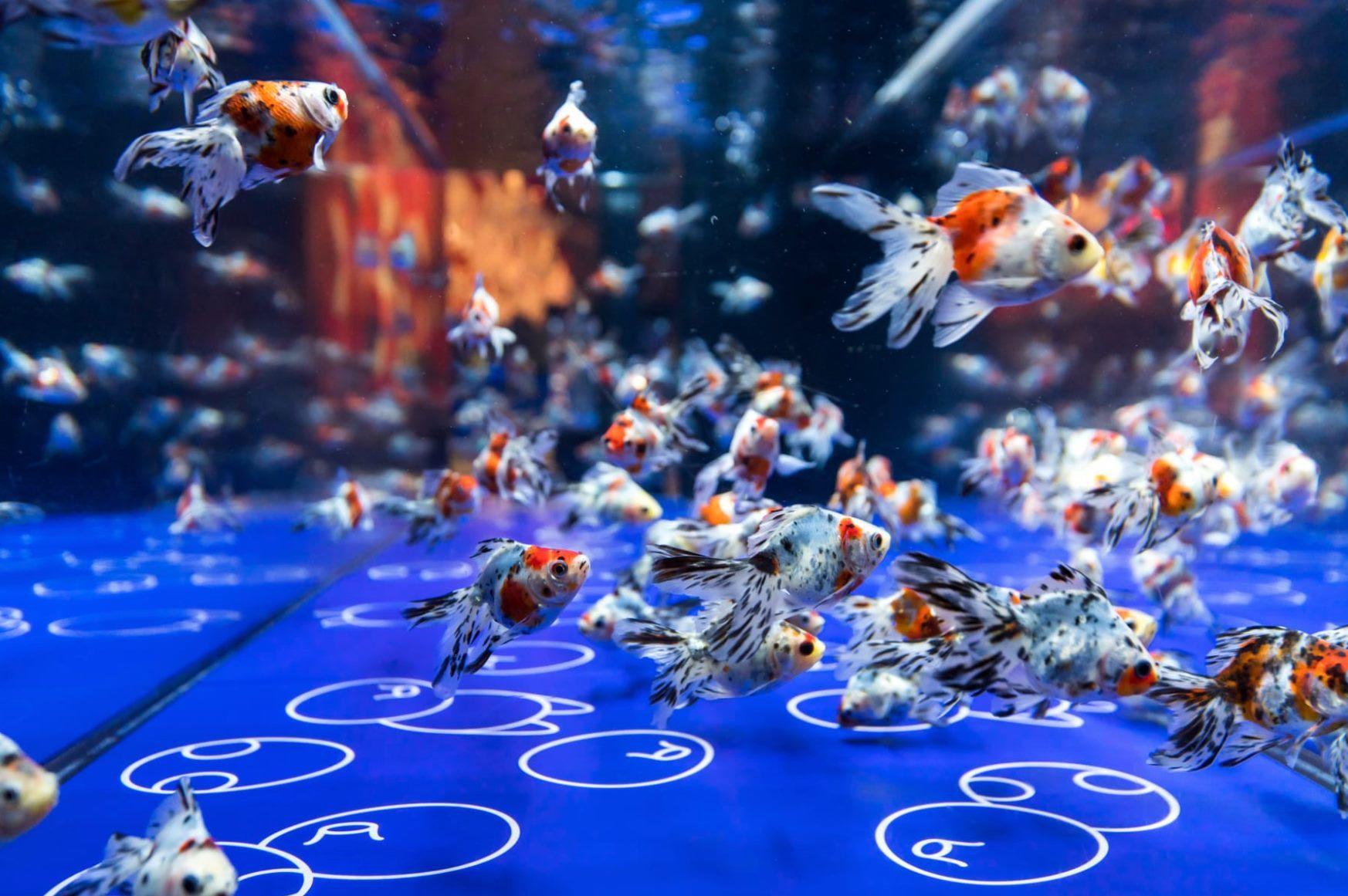 すみだ水族館「東京金魚ワンダーランド2019」_c0006305_14192175.jpg