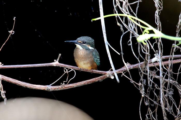 蓮池のカワセミ 2番子の巣立ちが見られました_f0239515_17202268.jpg