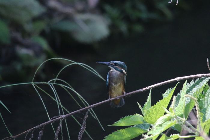 蓮池のカワセミ 2番子の巣立ちが見られました_f0239515_1720410.jpg