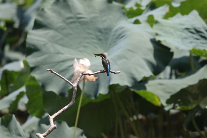 蓮池のカワセミ 2番子の巣立ちが見られました_f0239515_17223067.jpg