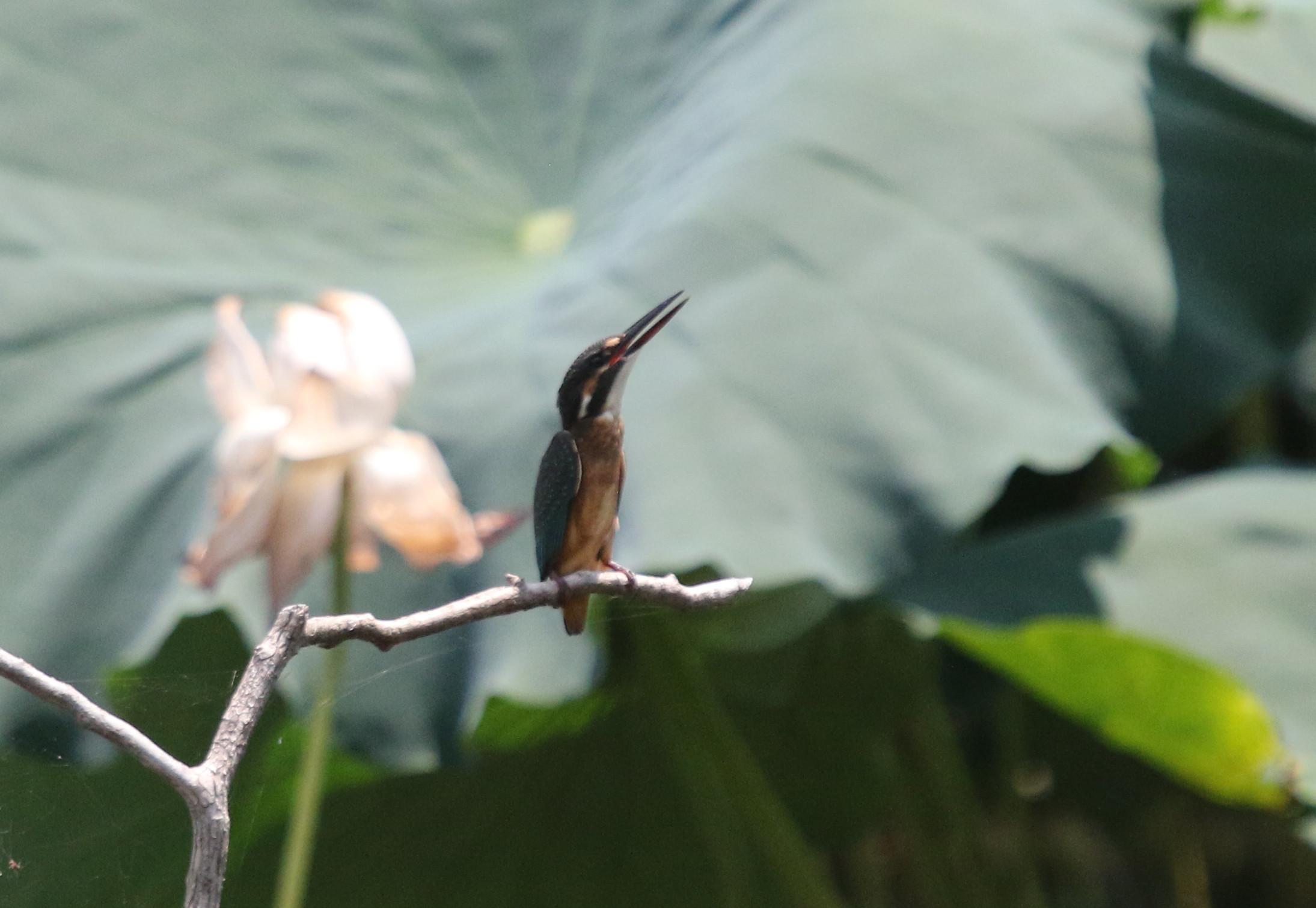蓮池のカワセミ 2番子の巣立ちが見られました_f0239515_1722455.jpg