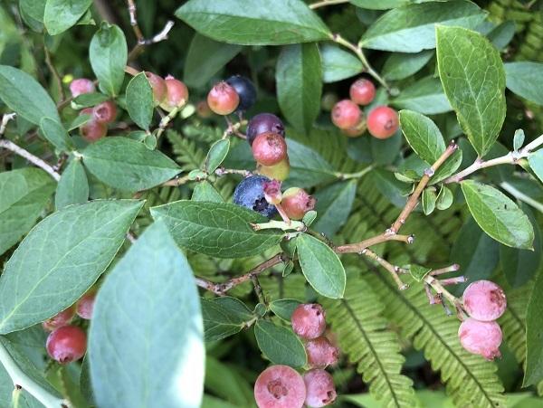 ブルーベリー収穫とガラスの器_b0100229_16135377.jpg