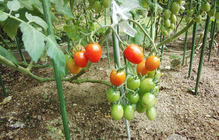 家庭菜園、毎日収穫してます_a0151444_14113368.jpg