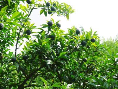 香り高き柚子(ゆず) 令和元年の青柚子は9月中旬より出荷予定!今のうち青唐辛子を購入しておいて下さい_a0254656_15104376.jpg