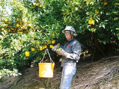 香り高き柚子(ゆず) 令和元年の青柚子は9月中旬より出荷予定!今のうち青唐辛子を購入しておいて下さい_a0254656_15191051.jpg