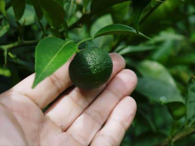香り高き柚子(ゆず) 令和元年の青柚子は9月中旬より出荷予定!今のうち青唐辛子を購入しておいて下さい_a0254656_15241448.jpg